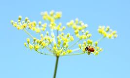 Nyckelpiga på gul blomma Arkivbild