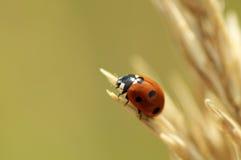 Nyckelpiga på gult gräs i nedgång Royaltyfri Foto