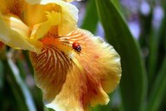 Nyckelpiga på kronbladet av en skäggiga Iris Blossom i vårsolljus arkivbilder