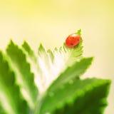 Nyckelpiga på leafen Arkivfoto