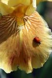 Nyckelpiga på skäggiga gula Iris Petal royaltyfria bilder