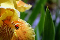 Nyckelpiga på skäggiga gula Iris Petal arkivfoton