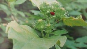 Nyckelpiga på växt Royaltyfria Foton