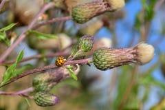 Nyckelpiga på växten med många bladlöss Fotografering för Bildbyråer