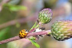 Nyckelpiga på växten med många bladlöss Arkivbild