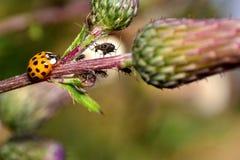 Nyckelpiga på växten med många bladlöss Arkivfoton