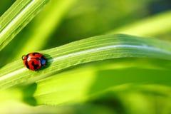 Nyckelpiga som går upp på gräset med droppar arkivfoton