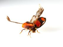 Nyckelpigaflyg   makro Royaltyfria Bilder