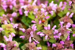 Nyckelpigan kryper på purpurfärgade blommor för den härliga våren stock illustrationer