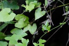 Nyckelpigaskalbaggarna är bland de gröna sidorna arkivbild