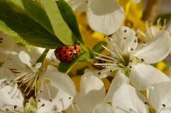 Nyckelpigor på Bradford Pear Blossoms royaltyfria foton
