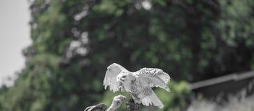 Nyctea scandiaca腹股沟淋巴肿块scandiacus雪白色猫头鹰 库存照片
