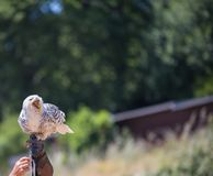 Nyctea scandiaca腹股沟淋巴肿块scandiacus雪白色猫头鹰 免版税图库摄影