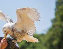 Nyctea scandiaca腹股沟淋巴肿块scandiacus雪白色猫头鹰 免版税库存图片
