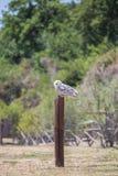 Nyctea scandiaca腹股沟淋巴肿块scandiacus雪白色猫头鹰 免版税库存照片