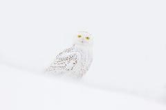 斯诺伊猫头鹰, Nyctea scandiaca,稀有人物坐雪,与雪花的冬天场面在风 免版税库存照片