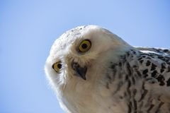 Nyctea scandiaca-Bubo scandiacus-Snow white owl. Bird of prey Stock Photography