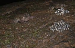 Nyctibatrachus o rana di notte che chiama intorno alle uova Immagine Stock