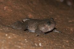 Nyctibatrachus o rana di notte chiamare Fotografia Stock Libera da Diritti