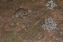 Nyctibatrachus vicino alle uova vedute al matheran Fotografia Stock Libera da Diritti
