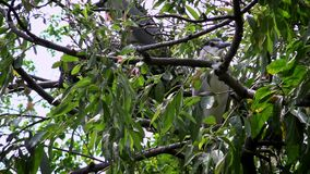 Nycticorax de los pájaros 4K dos, garza de noche negro-coronada, viviendo en árboles del lago almacen de video