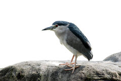 Nycticorax nycticorax Stock Images