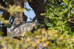 Nycticorax nycticorax Stock Photo