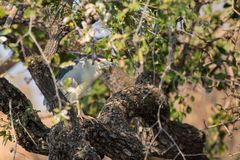Nycticorax nycticorax Stock Image