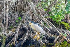 Nycticorax nycticorax - night heron Royalty Free Stock Photography