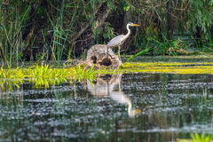 Nycticorax nycticorax - night heron Stock Photo