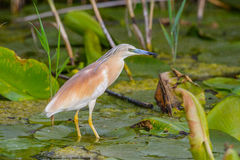 Nycticorax nycticorax - night heron Stock Image