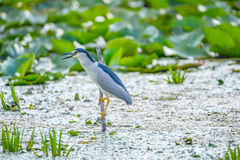Nycticorax nycticorax - night heron Royalty Free Stock Images