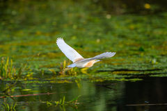Nycticorax nycticorax - night heron Stock Photography