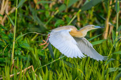 Nycticorax nycticorax - night heron Royalty Free Stock Photos