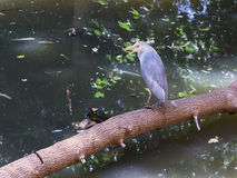 Nycticorax nycticorax and water turtle in pond Stock Photography