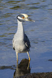 Nycticorax violaceus, yellow-crowned night heron Stock Image