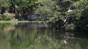 Nycticorax y Egretta Garzetta del Nycticorax en el árbol en Daan Forest Park almacen de video