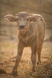 Nyfödd buffel Arkivfoto
