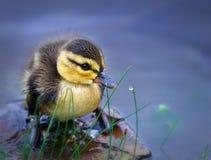 nyfödd duckling Arkivfoton