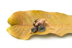 Nyfödd fågelsömn på mangoleave Fotografering för Bildbyråer
