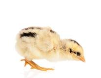 Nyfödd fågelunge Arkivbilder