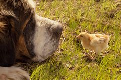 Nyfödd fågelunge och stor hund Arkivbild