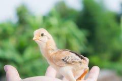 Nyfödd fågelunge på en hand Royaltyfria Foton