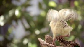 Nyfödd feg kalkon stock video