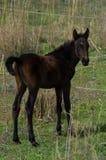 Nyfödd häst Royaltyfria Bilder
