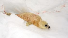 Nyfödd harpaskyddsremsavalp Royaltyfria Bilder