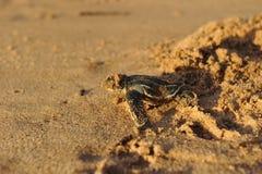 nyfödd havssköldpadda för leatherback Arkivfoto