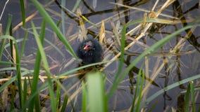 Nyfödd hedhöna som omkring ser Royaltyfria Foton