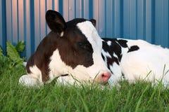 Nyfödd Holstein kvigakalv utomhus arkivfoto