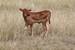 Nyfödd kalv för brunt nötkött Arkivbilder